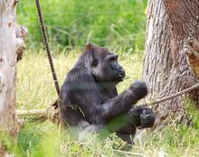 Western Lowland Gorilla Restin...
