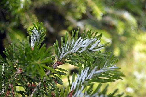 Photo white green leaves of the twig-fir (Abies koreana)