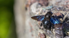 Close Up Of Carpenter Bee Perched On Concrete Wall