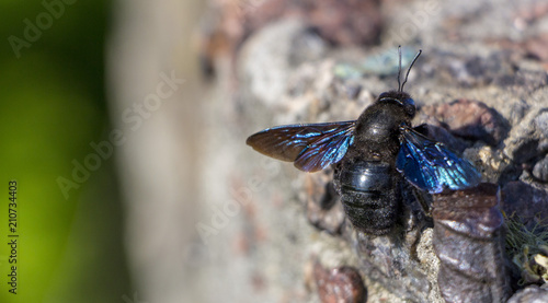 Close up of Carpenter Bee perched on Concrete wall Wallpaper Mural