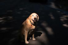 Labrador Retriever In  Shadow