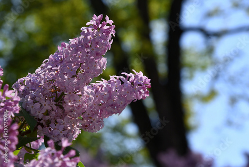 Foto op Canvas Lilac Lila blühender Flieder vor Baumstämmen und blauem Himmel