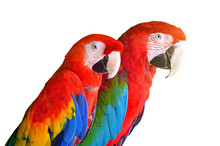 Two Parrots Red In Tropical Fo...