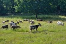 Troupeau De Chèvre Dans Une P...