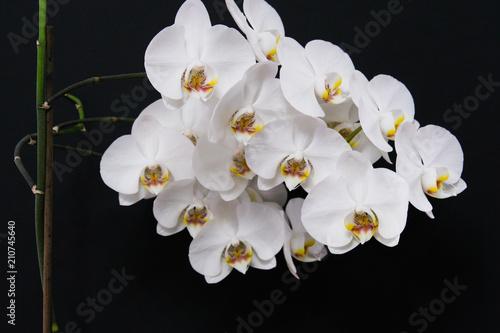 Biały storczyk na czarnym tle - 210745640