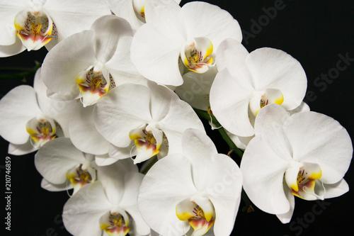 Biały storczyk na czarnym tle - 210746859