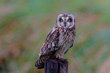Short-eared Owl On A Pole In The Meadows Of Noord Brabant Near Rosmalen In The Netherlands