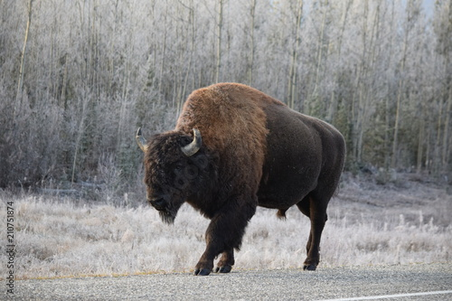 Tuinposter Bison Walking Bison