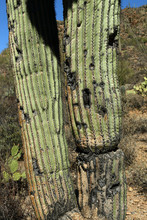 Old Saguaro Cactus Trunk With ...