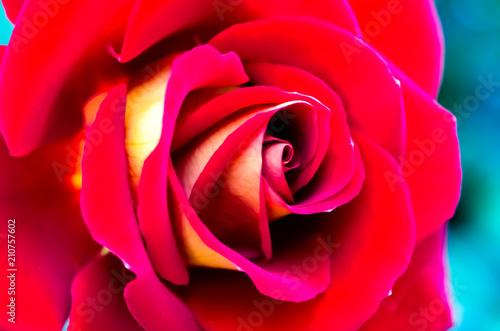 Fototapety, obrazy: Summer Red Rose