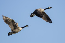 Pair Of Canada Geese Flying In...