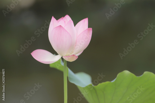Foto op Canvas Lotusbloem a lotus flower blossom at summer time