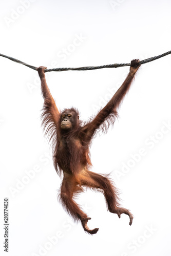 Foto op Aluminium Aap Portrait of a hairy orangutan swinging from a wine against the bright sky. Singapore.