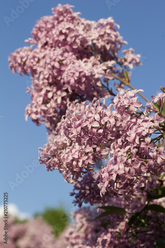 Staande foto Lilac Close up view of beautiful Chines lilac blossoms in full bloom