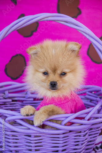 Photo  Fuzzy Pomeranian Puppy Wearing a Pink Shirt Posing with One Paw on Resting on th