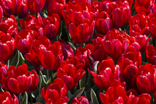 Closeup Of A Field Of Deep Red Tulips Blooming In April In Amsterdam, Netherlands