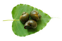Apple Snail On Leaf Isolated On White Background