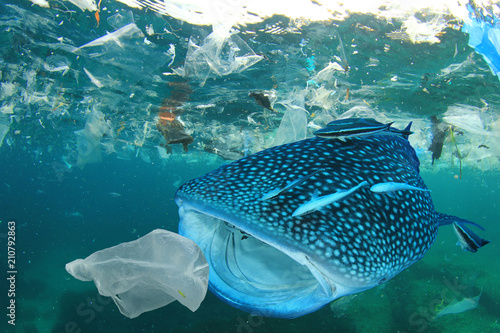 Obraz Plastic ocean pollution. Whale Shark filter feeds in polluted ocean, ingesting plastic    - fototapety do salonu