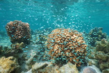 Corals And A Shoal Of Small Bl...