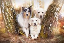 Drei Hunde Liegend Zwischen B�...