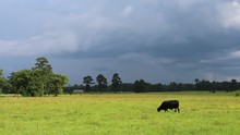Black Cow In A Field Before A ...