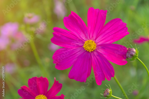 Poster Rose Cosmos colorful flower in the beautiful garden