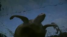 Giant Sea Turtle Swimming Abov...