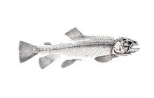 Illustration Of Salmon