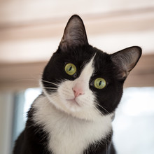 Black And White Tuxedo Cat With Tilted Head