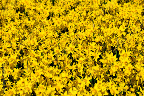 Cadres-photo bureau Narcisse Flower narcissus background. Amazing view of bright fresh beauti