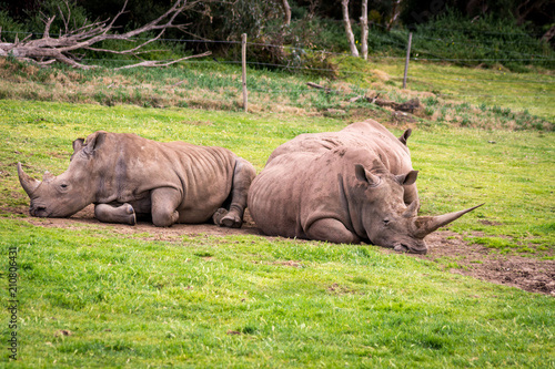 Foto op Aluminium Neushoorn sleeping group of rhinoceros