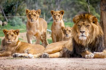 Fototapeta Lew Lion Family