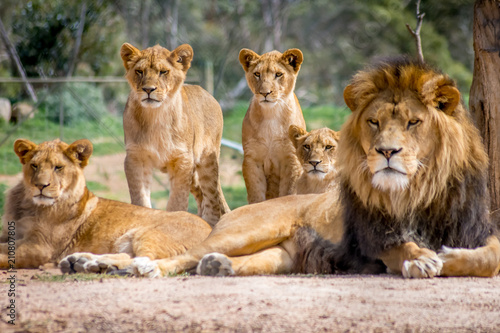 Photo sur Aluminium Lion Lion Family