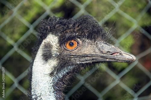 Photo  Portrait Of An Emu (Dromaius Novaehollandiae)