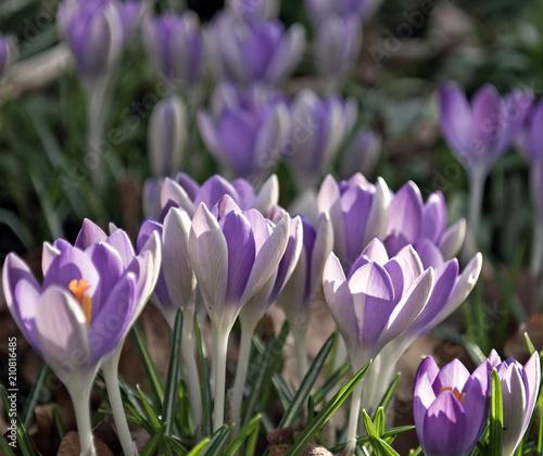 Tuinposter Krokussen Krokus-Blütenzauber