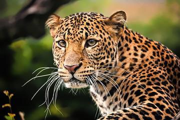 Javan leopard izbliza