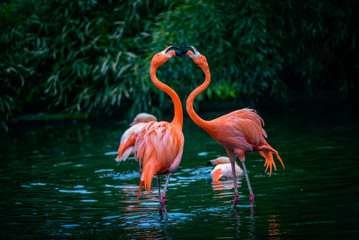 FototapetaTwo Caribbean Flamingos in fight