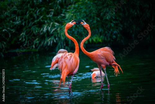 Garden Poster Flamingo Two Caribbean Flamingos in fight