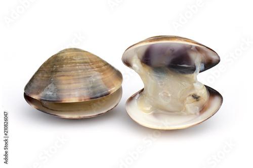 Fotografie, Tablou Image of Fresh enamel venus shell (Meretrix lyrata) isolated on white background,