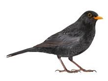 Eurasian Blackbird (Turdus Mer...