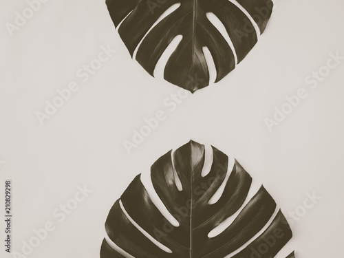 Fotografie, Obraz  Two monstera leaves on the wooden background