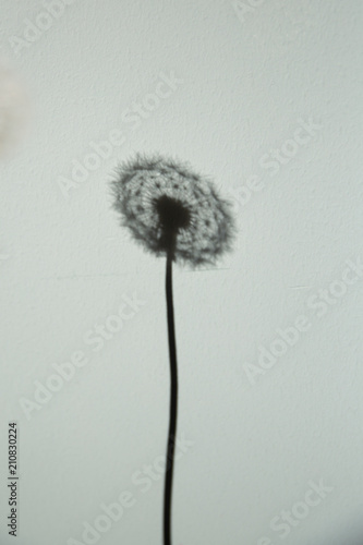 A dandelion shadow projected against a light background.