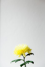 A Yellow Flower Against A White Background.