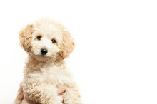 Beige Poodle Puppy On A White Background