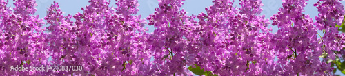 Keuken foto achterwand Lilac header springtime bunches of lilac blossoms on branches
