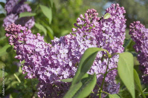 Fotobehang Lilac Lilac beautiful flowers