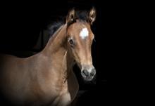 Brown Foal Black Background