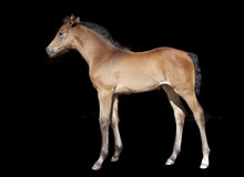 Brown Foal In Front Of Black Background