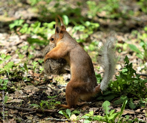 Tuinposter Eekhoorn squirrel in the wood close-up