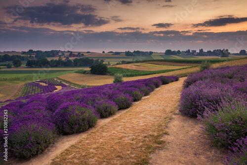 Spoed Foto op Canvas Grijze traf. Lavender field in Ostrow near Cracow, Malopolskie, Poland